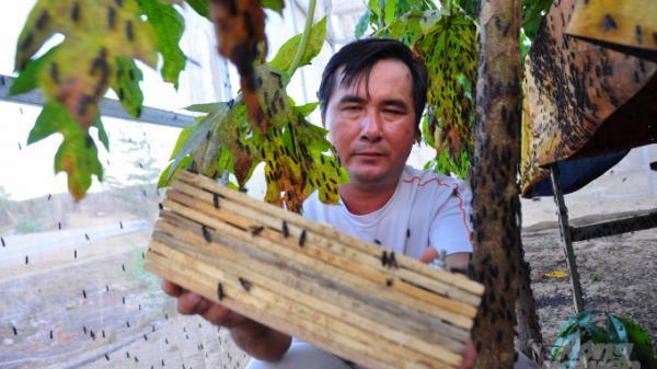 Ruồi lính đen 'cứu cánh' lão nông Ninh Thuận