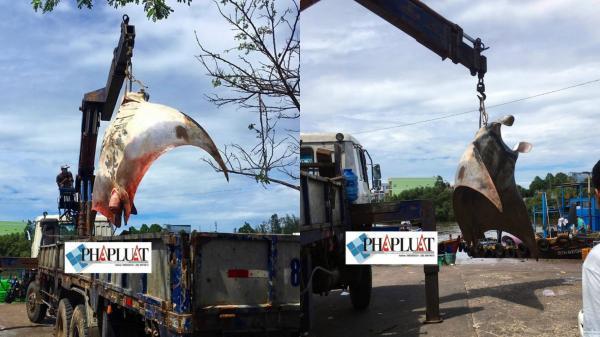 Ngư dân Bình Thuận bắt được cá đuối khủng nặng gần 800 kg