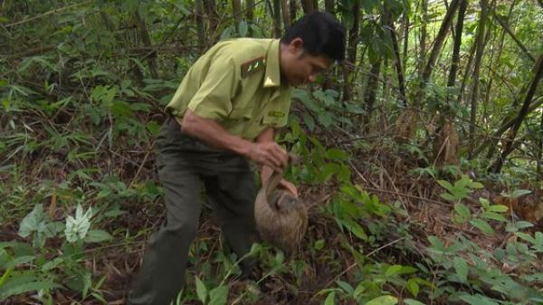 Bình Phước: Thả một cá thể tê tê Java về rừng