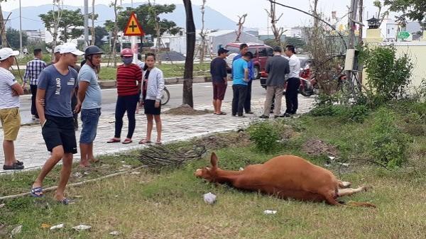 Đà Nẵng: Xế hộp gặp tai nạn vì... tông phải bò ngủ giữa đường