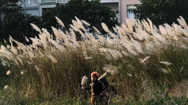 Du khách mê mẩn với hoa lau nở trắng Sơn Trà