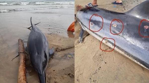 Phát hiện xάᴄ một cá heo dài tới 2m bị thương dạt vào bờ biển Đà Nẵng