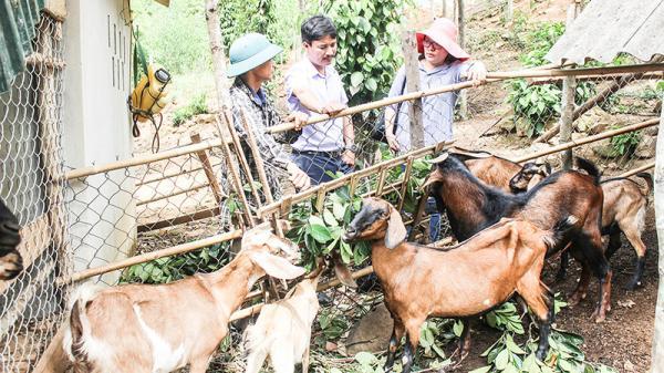 Triển vọng từ mô hình nuôi dê thả đồi ở Cam Lộ