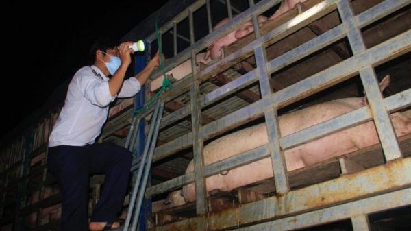 """Quảng Trị ra chỉ đạo """"nóng"""" kiểm soát vận chuyển lợn qua biên giới"""