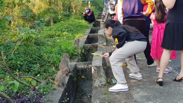 Nhiều hệ lụy từ việc cho khỉ ăn trên bán đảo Sơn Trà