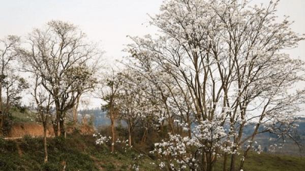 Phát triển du lịch, Điện Biên trồng mới gần 5.500 cây hoa ban