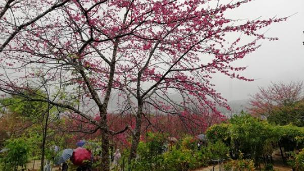 Những trải nghiệm thú vị tại sự kiện Lễ hội Hoa anh đào Điện Biên