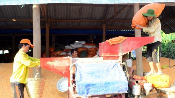 Nông sản vùng cao Điện Biên thăng trầm theo giá