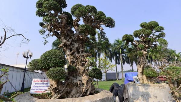 Choáng ngợp với cây duối 'tình mẫu tử' trên 100 năm tuổi, giá 15 tỷ đồng tại hội chợ Tết