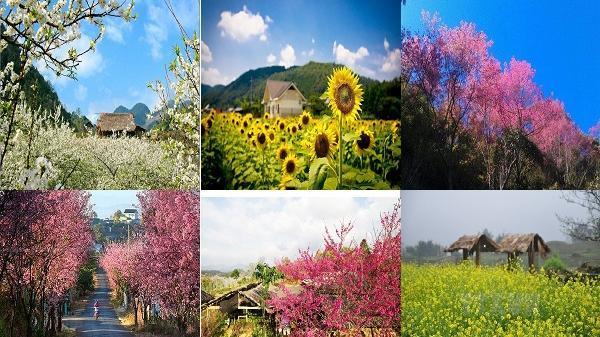 """Điện Biên, một trong những điểm đến có """"cánh đồng hoa"""" tuyệt đẹp để chiêm ngưỡng vào dịp đầu xuân năm mới"""