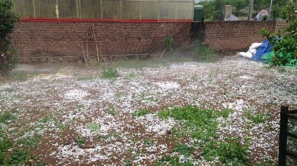 Mưa đá trắng xóa kèm theo gió lốc giật mạnh, nhiều vườn mận bị thiệt hại nặng ở Mộc Châu