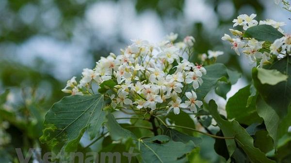 Mê mẩn ngắm nhìn hoa trẩu vùng Tây Bắc vào mùa