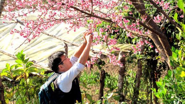 Điện Biên sẽ tổ chức sự kiện Hoa anh đào ở Mường Phăng