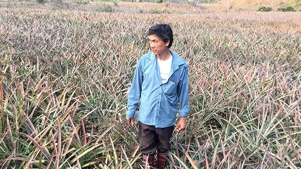 Học hỏi người nông dân Mường Chà làm giàu từ trồng dứa