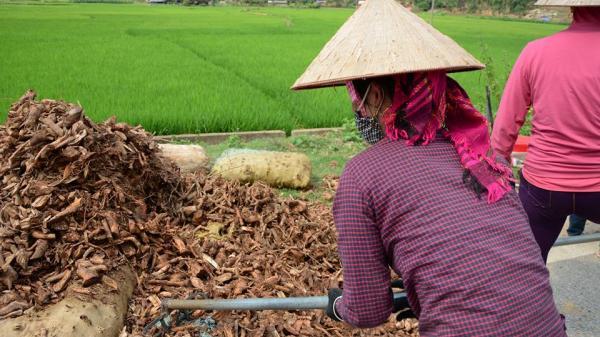 Người dân khai thác rễ sim rừng tràn lan