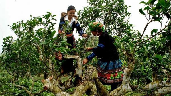 Chè Tuyết cổ thụ ở Điện Biên