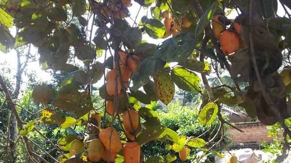 Trồng mới hàng nghìn cây hồng Điện Biên quý hiếm
