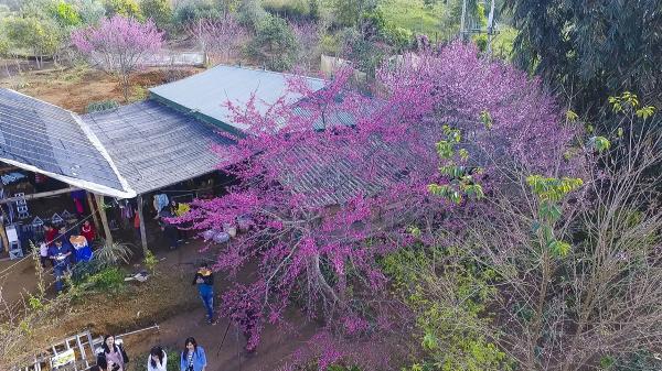 Điện Biên: Sẽ tổ chức sự kiện Hoa anh đào vào tháng 1 và lễ hội Hoa ban vào tháng 3//2018