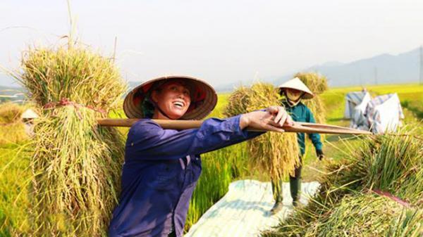 Mùa vàng trên cánh đồng Mường Thanh