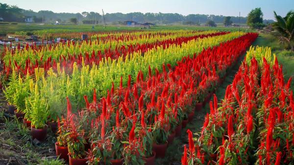Đi ngay kẻo lỡ cánh đồng hoa Tết sát rạt Biên Hòa