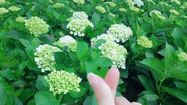 Không chỉ Đà Lạt, ngay tại Đồng Nai cũng có vườn hoa cẩm tú cầu đang làm 'nức lòng' giới trẻ