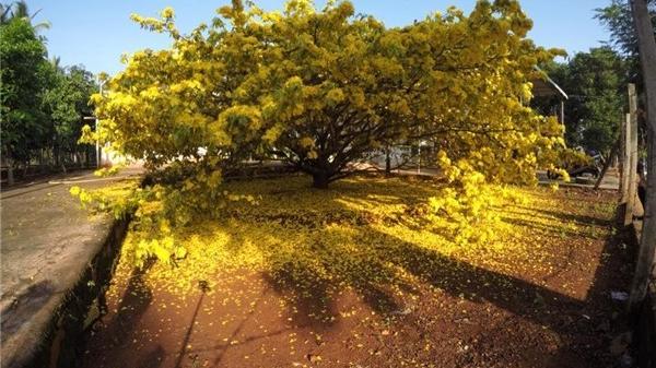 Dân mạng phát sốt với cây mai hơn 2 tỷ đồng kiên quyết không bán ở Đồng Nai tiếp tục trổ bông vàng rực rỡ đúng dịp Tết