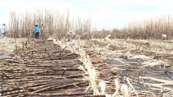 Nông dân Đồng Nai điêu đứng vì mía cháy hàng loạt