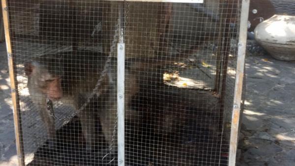 Đồng Nai: Tiếp nhận và thả về rừng một cá thể khỉ đuôi dài quý hiếm