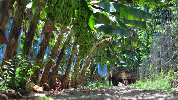 Đồng Nai: Giá chuối tăng cao gấp 10 lần năm ngoái, người trồng lãi nửa tỷ đồng/ha