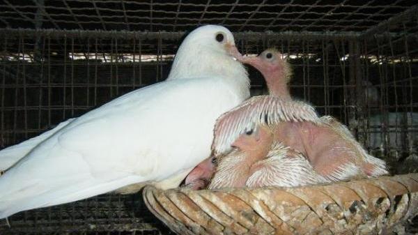 """Chơi canh bạc lớn"""" với chim bồ câu, những nông dân """"ẵm"""" trăm triệu đến tiền tỷ mỗi năm"""