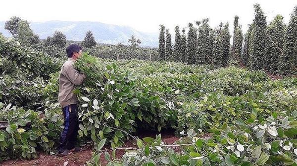 Đồng Nai: Thương lái Trung Quốc lại thu mua rễ hồ tiêu