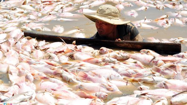 Đồng Nai: Ngư dân rớt nước mắt vớt hàng trăm tấn cá chết để ủ phân