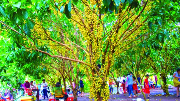 Đồng Nai: Một vườn dâu đẹp ở làng quê...