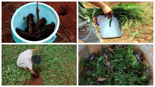 Bắt dế cơm bằng kiến trong vườn cao su ở Đồng Nai