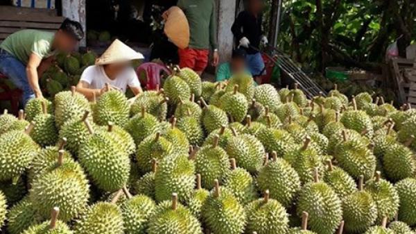 40.000 tấn sầu riêng rớt giá thê thảm còn 28k/kg, nông dân Tiền Giang có nguy cơ 'trắng tay'