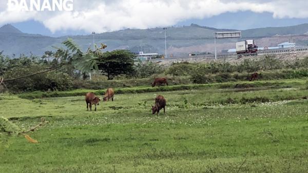 Tháo hành lang an toàn cao tốc để chăn thả trâu, bò