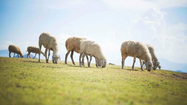 Dắt nhau đi trốn tới... 3 cánh đồng chăn cừu đẹp đến mê hồn, lung linh tựa trời Tây