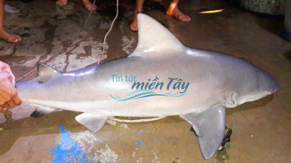 """Ngư dân miền Tây đánh lưới cá bông lau """"dính"""" cá mập, khách sợ không dám mua"""
