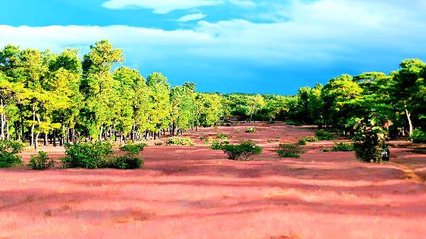 Rừng thông Đak Đoa: Giàu tiềm năng du lịch sinh thái