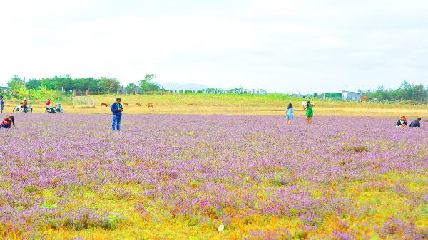 Gia Lai: Ngất ngây với cánh đồng cỏ tím Chư Pưh