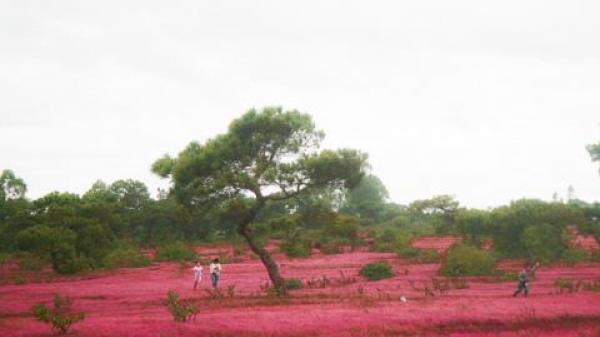Phá rừng thông, đồi cỏ hồng làm sân golf ở Gia Lai: Quy hoạch rồi?