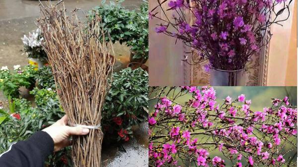 Cây độc: Hoa đỗ quyên ngủ đông như 'cành củi khô' đang gây sốt có tẩm hóa chất độc hại?