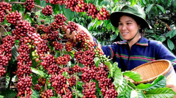Các tỉnh Tây Nguyên: Giá cà phê tăng 200 đồng/kg, giá tiêu đứng yên
