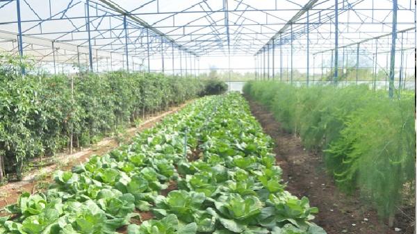 TP. Pleiku (Gia Lai): Hơn 300 ha rau phục vụ Tết Nguyên đán năm 2018