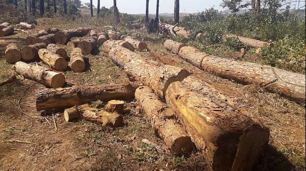 Đắk Nông: Xin dọn rừng, tiện tay 'xẻ thịt' gần 400 cây thông cổ thụ