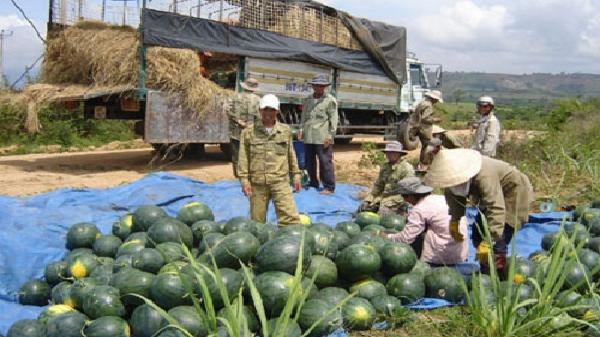 Gia Lai: Thời tiết thuận lợi, người dân trồng dưa hấu thắng lớn