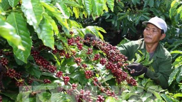 Các tỉnh Tây Nguyên rà soát diện tích trồng cà phê theo quy hoạch