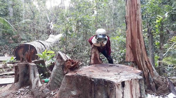 Rừng Tây Nguyên vẫn bị phá sau lệnh đóng cửa