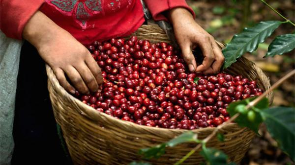 TT cà phê ngày 16/5: Tiếp tục sụt giảm xuống 35.000 đồng/kg