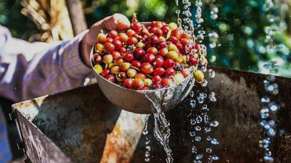 Giá cà phê (27/11) phục hồi trở lại sau chuỗi ngày 'ảm đạm'